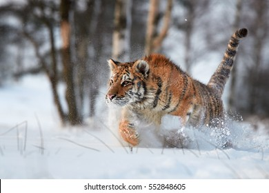 Cloe up Siberian tiger, Panthera tigris altaica, running in deep snow, young male in winter landscape. Freezing cold, winter. Tiger in snowy environment against birch trees in background.