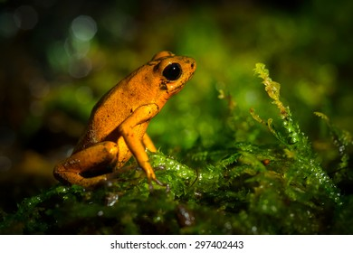 Cloeeup species of a small green frog