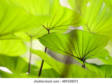 cloesup taro leaf  abstract background