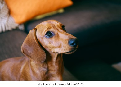 Close up of 5 months old smooth brown dachshund puppy at home, sitting on a sofa, looking up eagerly waiting for a treat.