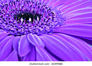 Close up abstract of one purple daisy gerbera