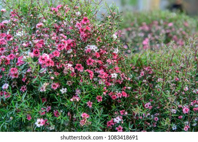 Australian pink flowering bush images stock photos vectors close up abstract view of tiny pink flowers of the australian tea bush mightylinksfo