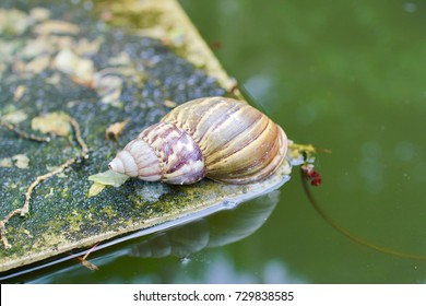 Close up of Achatina snail(gastropod) at the lake.