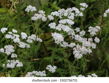 close up of Achillea millefolium, commonly known as common yarrow