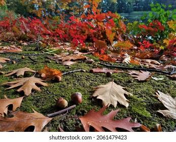Close up of acorns in fall. - Shutterstock ID 2061479423