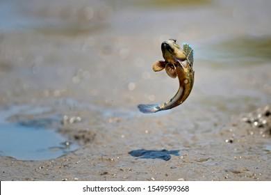 close up action Mudskipper jump in the sea