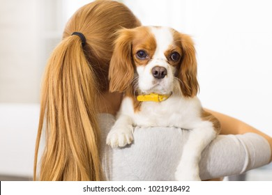 Close up of an adorable fluffy puppy cavalier king charles spanier in the hands of his female owner cuteness love pets pet care happiness ownership family affection animals concept.