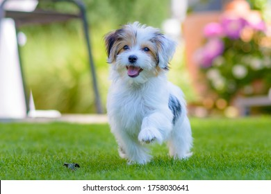 Close up of an adorable, happy puppy caught in motion while running on vibrant green grass in summer.
