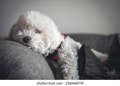 close up of an adorable and soft white poodle maltese or maltipoo laying comfortably on a couch with decorative pillows while enjoying the sun light