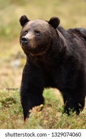 Close up of adult European brown bear in forest