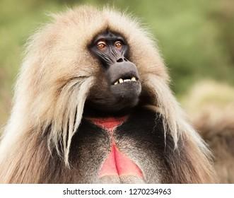 Close up of an adult Gelada monkey (Theropithecus gelada), Simien mountains, Ethiopia.