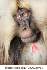 Close up of an adult Gelada monkey (Theropithecus gelada), Simien mountains national park, Ethiopia.