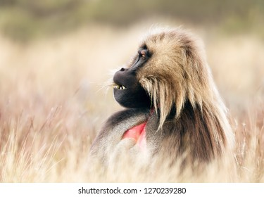 Close up of an adult Gelada monkey (Theropithecus gelada) sitting in grass,  Simien mountains national park, Ethiopia.