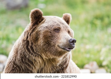 close up of an adult grizzly bear on green grass