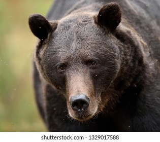 Close up of adult male brown bear in the summer forest. European Brown Bear portrait.
