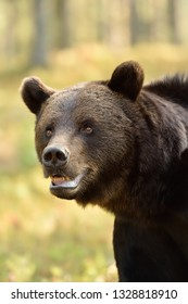 Close up of adult male wild brown bear in the summer forest
