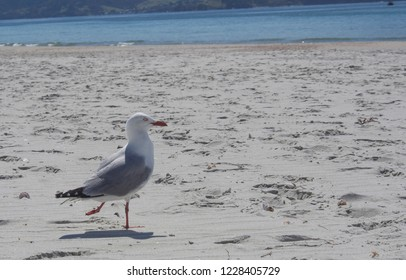 Close up of an adult Red-billed Gull standing on the beach