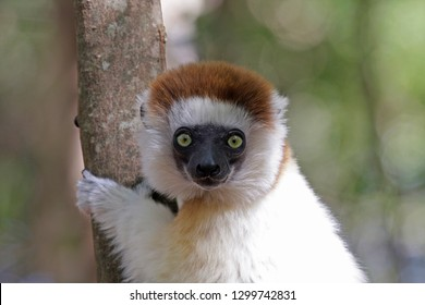 Close up of an adult Verreaux's sifaka (Propithecus verreauxi), also known as the white sifaka. A medium-sized primate in one of the lemur families, the Indriidae.