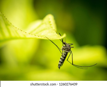 Close up of Aedes Aegypti Mosquito resting on the leaf in garden. Aedes is a genus of mosquitoes transmit serious diseases, including dengue fever, yellow fever, the Zika virus and chikungunya.