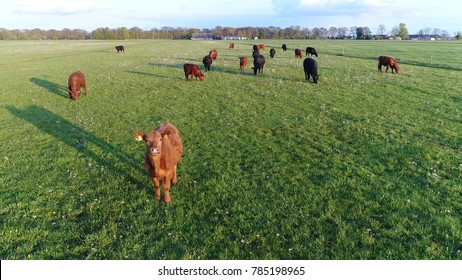 Close up aerial photo of Aberdeen Angus cattle showing young funny looking cow looking curious into camera while other cows are grazing the fresh green grass beautiful summer evening farm scene