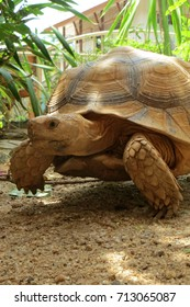 Close up Africa spurred tortoise resting in the garden, Slow life ,Africa spurred tortoise sunbathe on ground with his protective shell ,Geochelone sulcata ,Tortoise walking on the ground