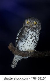Close up African barred owlet, Glaucidium capense. Isolated, african owl perched on branch at night, starring directly at camera. Timbavati reserve, South Africa.