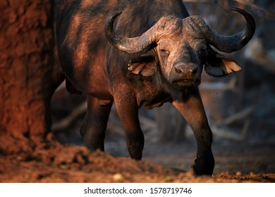 Close up African buffalo, Syncerus caffer, huge african animal in vibrant morning light. Dangerous situation. Attacking buffalo. Direct view, low angle photo. Wildlife of Mana Pools, Zimbabwe.