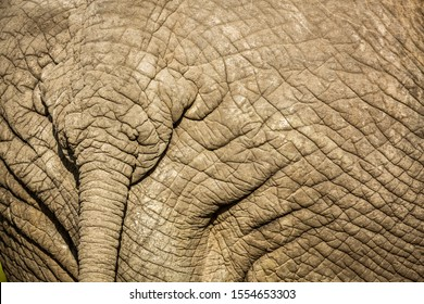 Close up of African bush elephant tail in Kruger National park, South Africa ; Specie Loxodonta africana family of Elephantidae