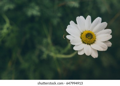 Close up of African Daisy flower in Ireland.