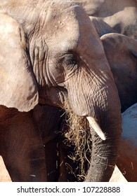 Close up of an african elephant grazing.