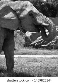 Close up African elephants are elephants of the genus Loxodonta. The genus consists of two extant species: the African bush elephant, L. africana, and the smaller African forest elephant,