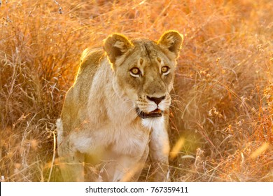 Close up of an African Lion. Camouflaged Predator Hunting prey on the Savannah. Conservation of endangered animals. Protected species of Africa. Safari Holiday. Dangerous Animal. Teamwork and strategy