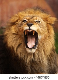 Close up of African Lion roaring with mouth wide open
