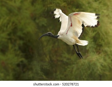 Close up African sacred ibis, Threskiornis aethiopicus, black and white wading bird flying against blurred green background. Bird with outstretched, backlighted wings. Camargue, France.