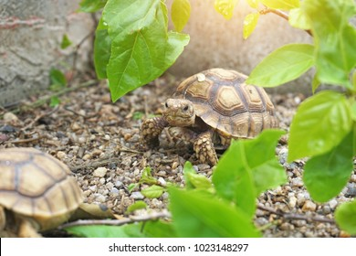 Close up African spurred tortoise resting in the garden, Slow life ,Africa spurred tortoise sunbathe on ground with his protective shell ,Beautiful Tortoise,Geochelone sulcata