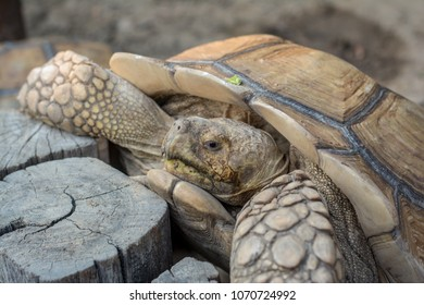 Close up African spurred tortoise resting in the garden, Slow life ,Tortoise sunbathe on ground with his protective shell ,Beautiful African Spurred Tortoise, Sulcata Tortoise.