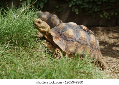Close up African spurred tortoise resting in the garden, Slow life ,Africa spurred tortoise sunbathe on ground with his protective shell ,Beautiful Tortoise