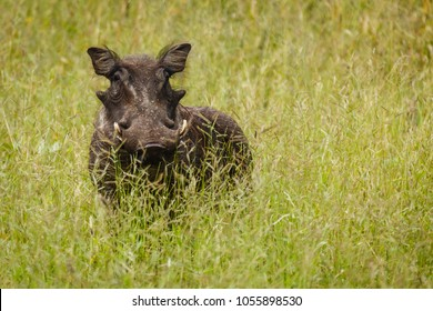 close up of African warthog facing photographer in grassland