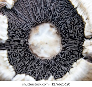 Close up of Agaricus - genus of mushrooms containing both edible and poisonous species, with possibly over 300 members worldwide. The genus includes the common mushroom and the field mushroom.