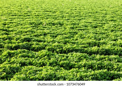Close up of an Alfalfa (Medicago sativa) field, an important agricultural crop for feeding livestock.