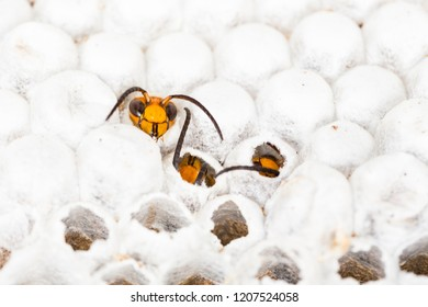 Close up of alive asian hornet wasp head, in nest honeycombed insect macro. Poisonous venom animal colony. Concept of danger in nature