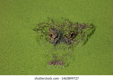 Close up of an alligator camouflaged by duckweek in a swamp