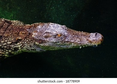 close up of an alligator/crocodile