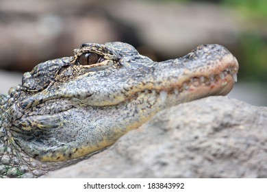 Close up of Alligator's Head
