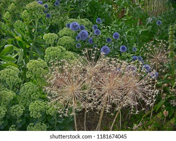 Close up of Allium cristophii Star of Persia with dried decorative flower head in a flower border