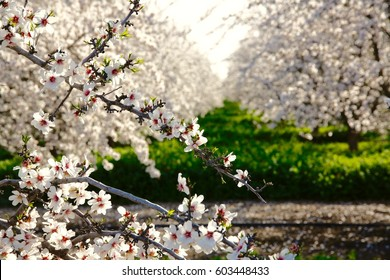 Close up of almond blossoms in full bloom.
