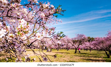 Close up of almond trees pink flowers in bloom with people chilling out between almond trees in the background at Quinte de los Molinos city park downtown Madrid, Spain. Almond trees in spring.