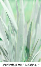 Close up of Aloe succulent plant