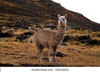 close up of an alpaca staying next to a street in front of a herd on a dry meadow in the peruvian andean