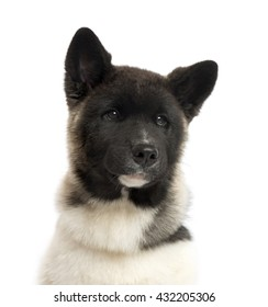 Close up of an American Akita puppy (4 months old), isolated on white